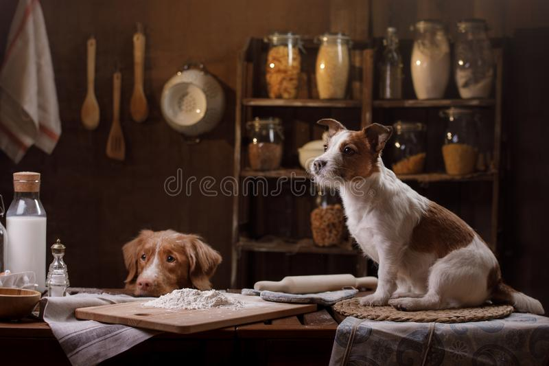 Two dogs are cooking in the kitchen. Pet at home stock photography