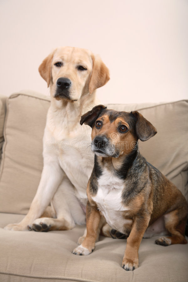 Download Two Dogs on a Couch stock image. Image of alert, indoor - 4285969