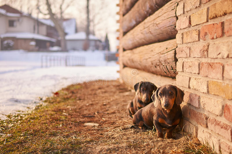 Two dogs. Two dachshund dogs sitting near wall of bricks royalty free stock photography