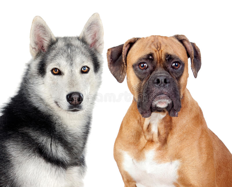 Two dogs of different breeds royalty free stock photography