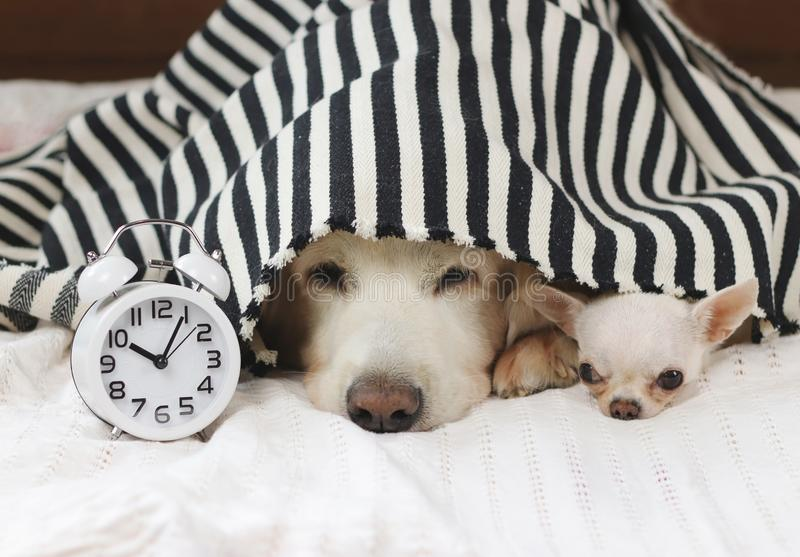 Close up image of golden retriever and chihuahua dog lying down in bed under black and white stripes blanket with white alarm. Two dogs don`t want to wake up in stock images