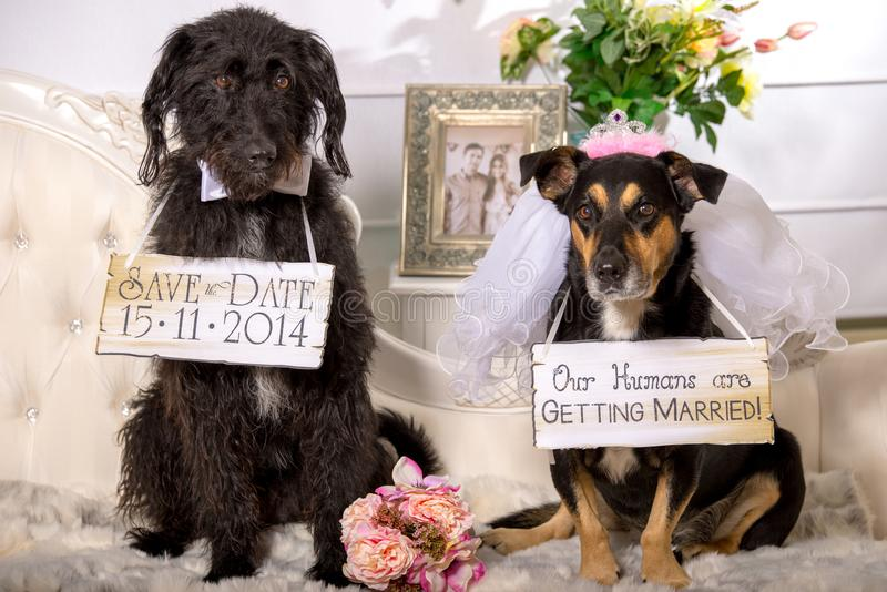 Two dogs dressed as wedding couple to announce their owners engagement royalty free stock image