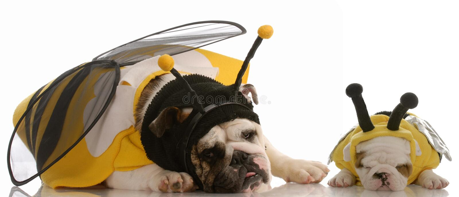 Two dogs dressed up as bees royalty free stock photos