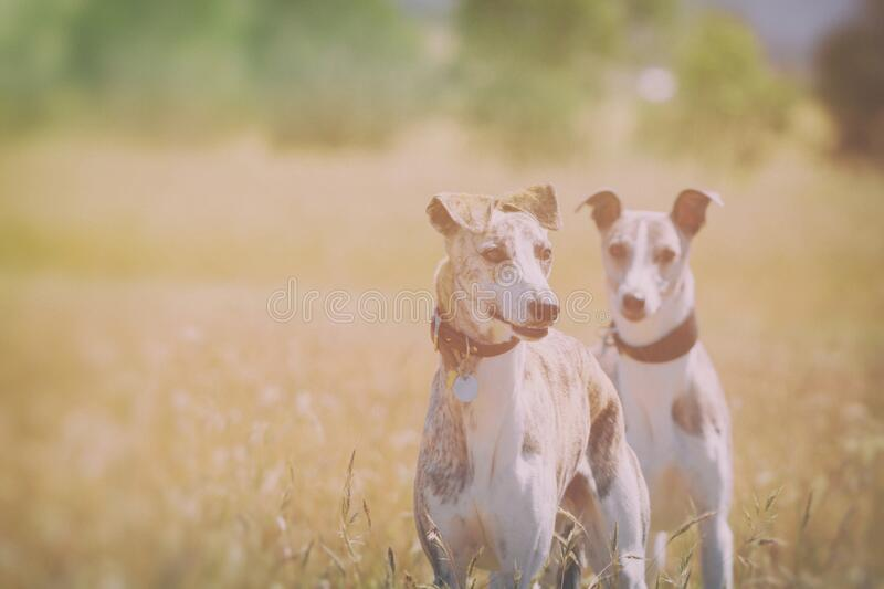 Two dogs enjoying off leash time in a meadow stock image