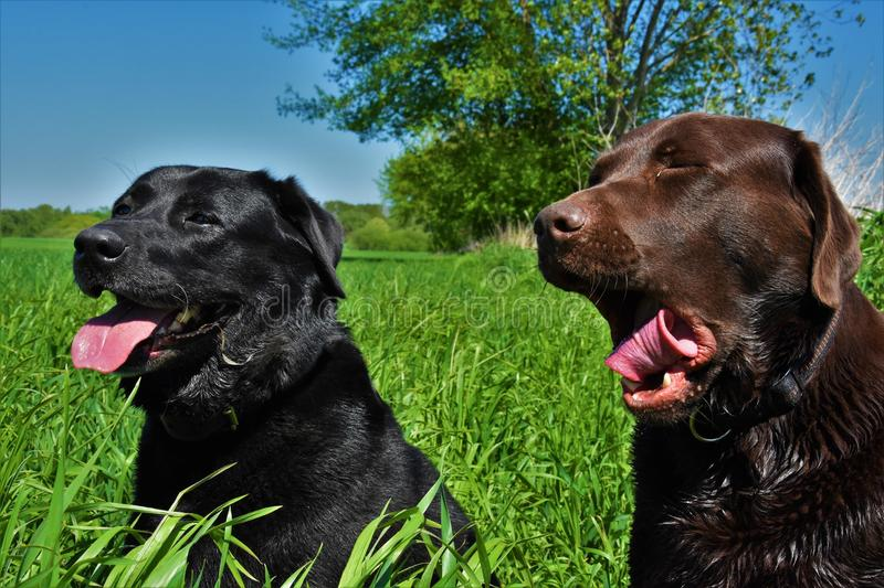 Two dogs in the field. Two dogs, a black and brown labrador sit in a green field and yawns royalty free stock image