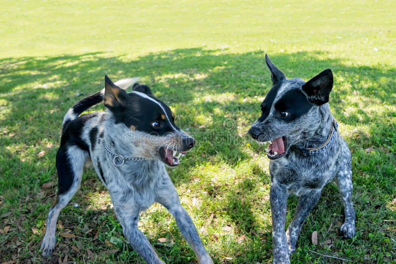 Two dogs fighting royalty free stock image