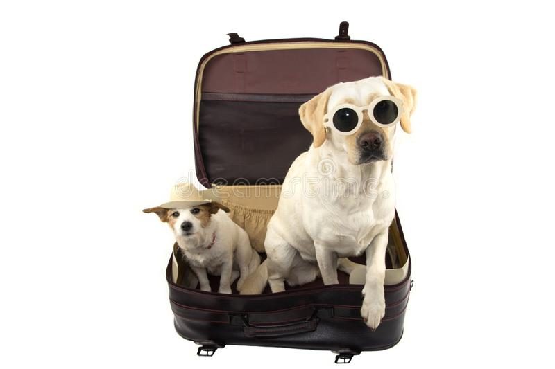 TWO DOGS GOING ON VACATIONS. JACK RUSSELL AND LABRADOR INSIDE A RED VINTAGE SUITCASE. ISOLATED SHOT AGAINST WHITE BACKGROUND stock photo