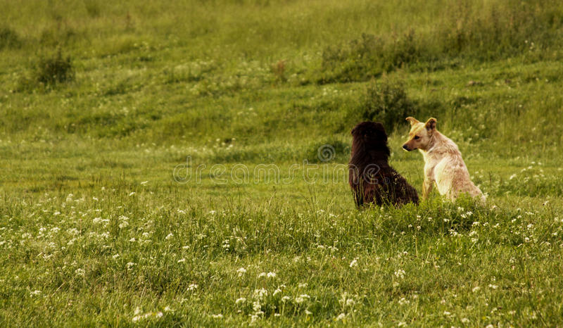Two dogs in a green field royalty free stock photography