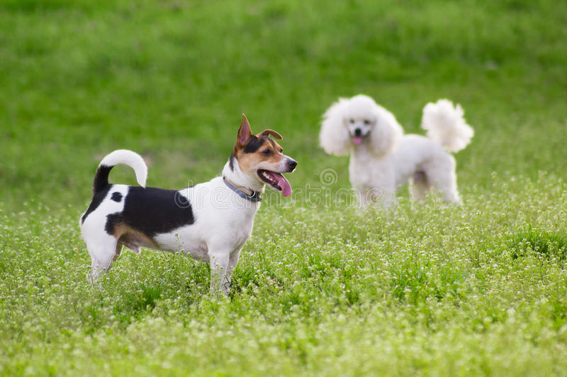 Two dogs on green grass in springtime stock photo