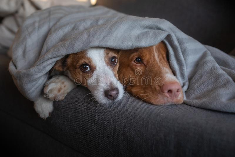 Two dogs are hiding under the blanket. Nova Scotia Duck Tolling Retriever and Jack Russell Terrier are heated home on the couch. Two dogs are under the blanket stock photography