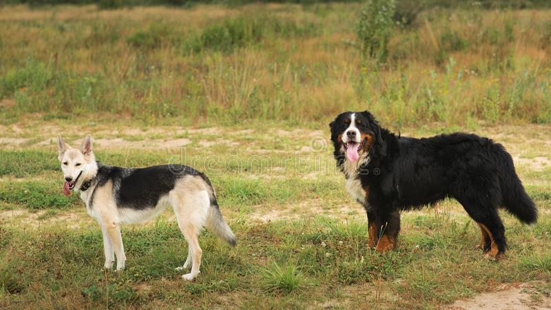 Two dogs husky and Bernese Mountain Dog standing on green meadow and looking at camera . Green grass background stock photos