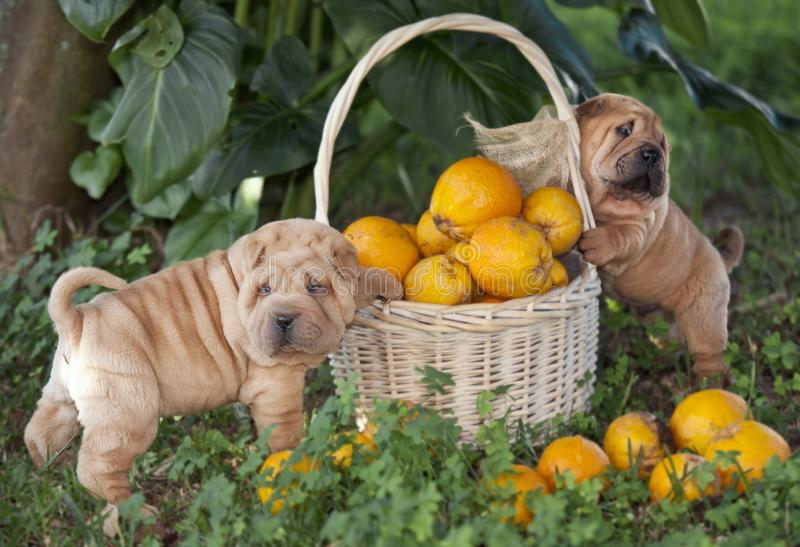 Two dogs playing in the garden royalty free stock photography