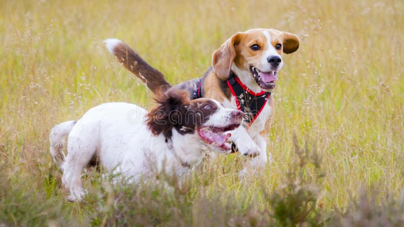 Two dogs out for a walk running and playing stock photography