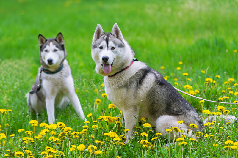 Two dogs play on a green meadow. royalty free stock photos