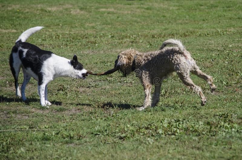 Two dogs play tug of war with a stick stock images
