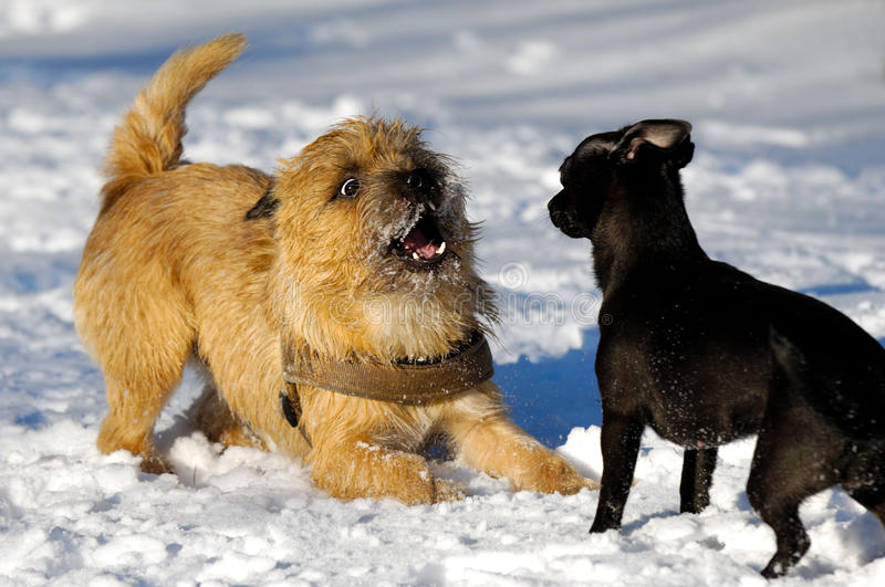 Download Two dogs playing stock photo. Image of black, friendly - 15264506