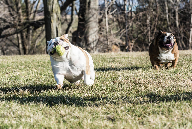 Two dogs playing catch stock images