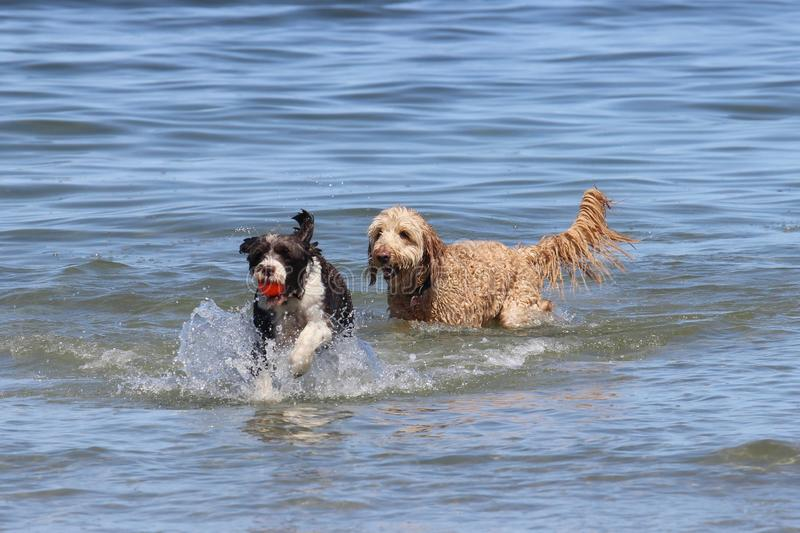 Two Dogs Playing Fetch stock image