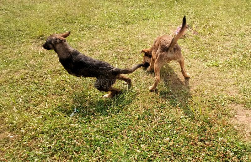 two dogs playing in the field stock image
