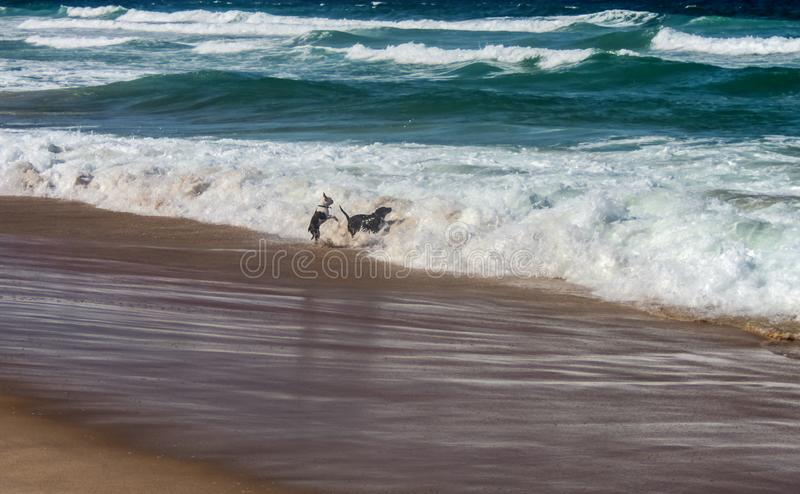 Two dogs playing and jumping in the surf at a dog beach stock photo