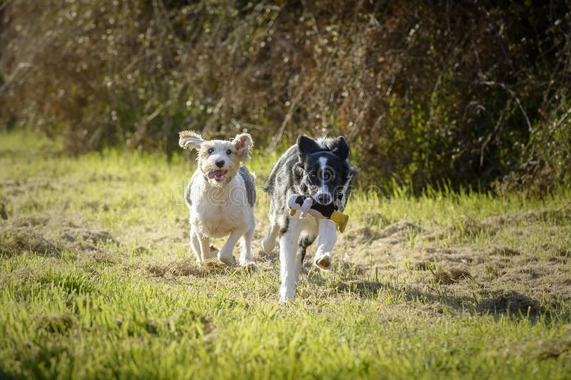 Two dogs playing running for a toy stock images