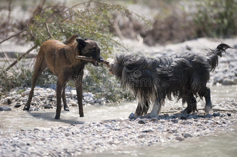 Two dogs playing with a stick. They are carrying it together. royalty free stock images