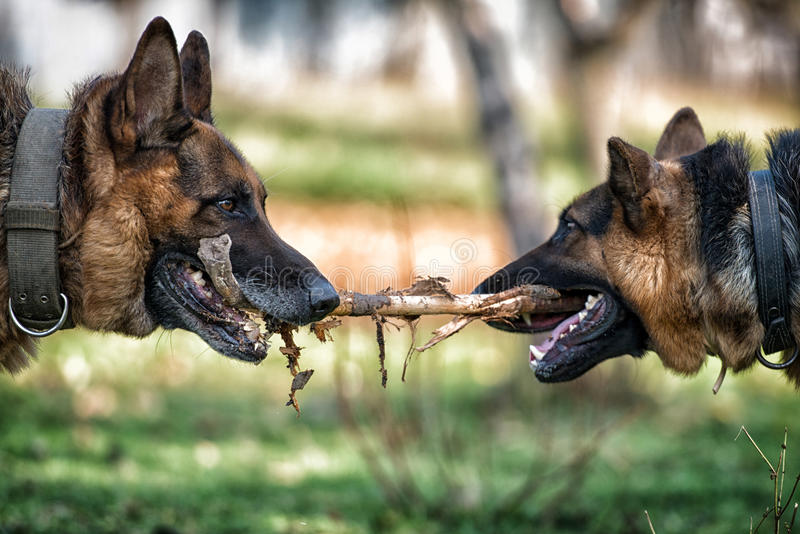 Two Dogs Playing With A Stick. Two German Shepherd Dogs Fighting Over A Stick royalty free stock photography