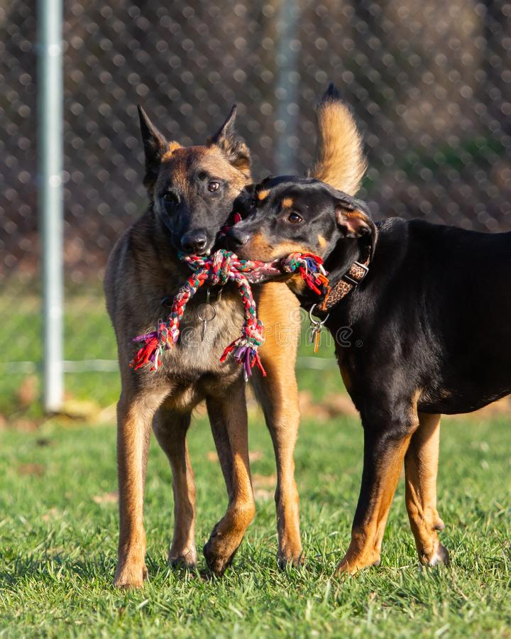 Two dogs playing together sharing one rope toy at dog park royalty free stock photography