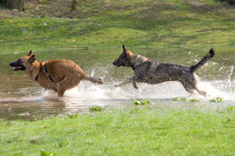 Two dogs playing in water stock images