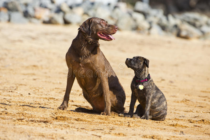 Download Two dogs pose together stock image. Image of breed, brown - 27310395