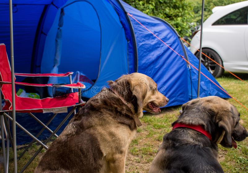 Dogs enjoying camping. Two dogs resting on a camping trip royalty free stock photography