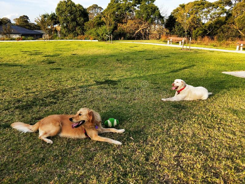 Two dogs resting on the grass ground in a park. Ball, play, playing royalty free stock photos