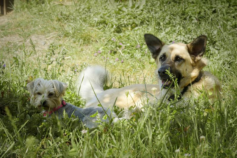 Two dogs resting under the shade of a tree in a field royalty free stock photography