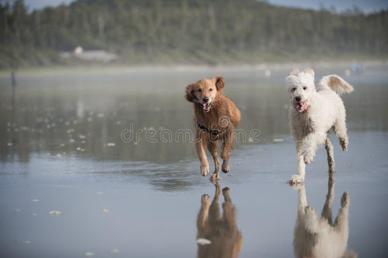 Two dogs run on beach 2 stock photos