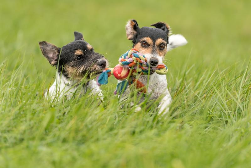 Two dogs run and play with a ball in a meadow. A young cute Jack Russell Terrier puppy with her bitch. Two dogs run and play with a ball in a meadow - a cute stock images
