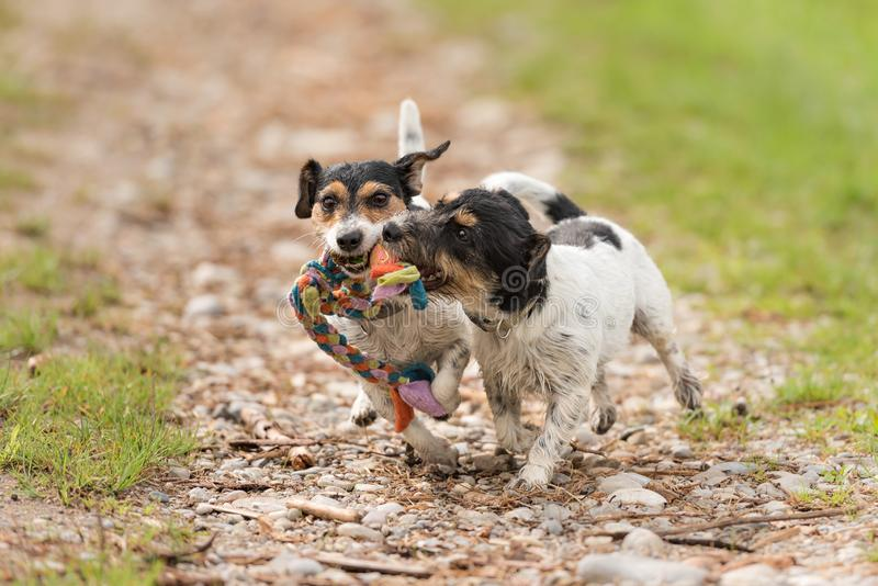 Two dogs run and play with a ball in a meadow. A young cute Jack Russell Terrier puppy with her bitch. Two dogs run and play with a ball in a meadow - a cute royalty free stock photos
