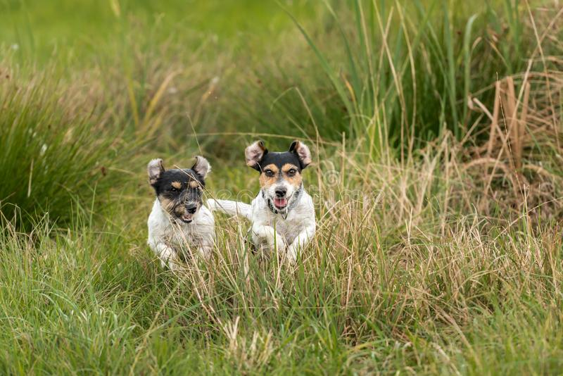 Two dogs run and play with a ball in a meadow. A young cute Jack Russell Terrier puppy with her bitch. Two dogs run and play with a ball in a meadow - a cute stock photography