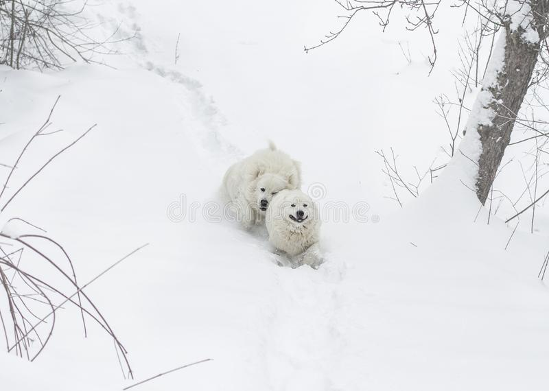 Two dogs run through the snow in the forest. Two white dogs run through the snow in the forest. breed Maremmo Abruzza Sheepdog royalty free stock photography