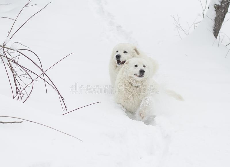 Two dogs run through the snow in the forest. Two white dogs run through the snow in the forest. breed Maremmo Abruzza Sheepdog stock image