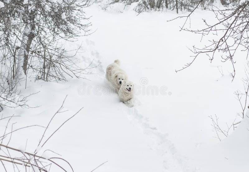 Two dogs run through the snow in the forest. Two white dogs run through the snow in the forest. breed Maremmo Abruzza Sheepdog stock photos