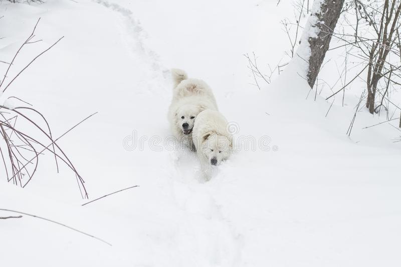 Two dogs run through the snow in the forest. Two white dogs run through the snow in the forest. breed Maremmo Abruzza Sheepdog stock images
