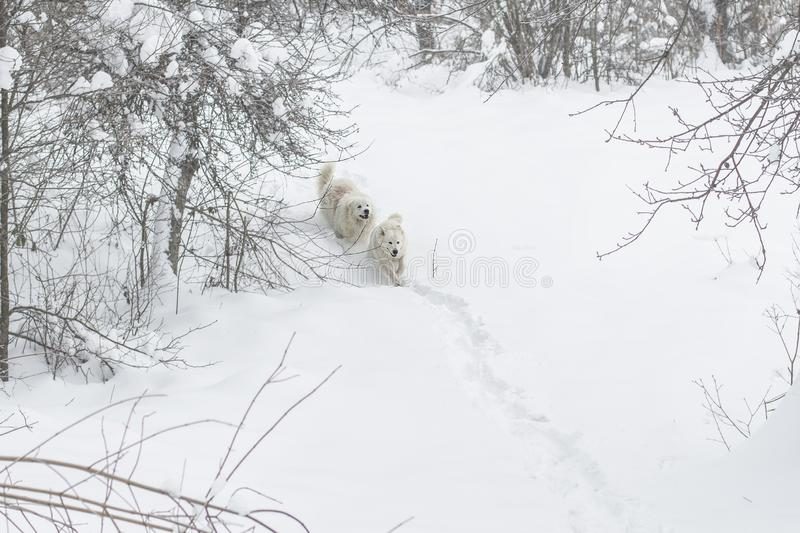 Two dogs run through the snow in the forest. Two white dogs run through the snow in the forest. breed Maremmo Abruzza Sheepdog royalty free stock image