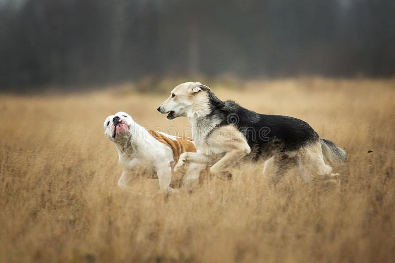 Two dogs running at camera. Mongrel and english bulldog Dog outdoor stock photos