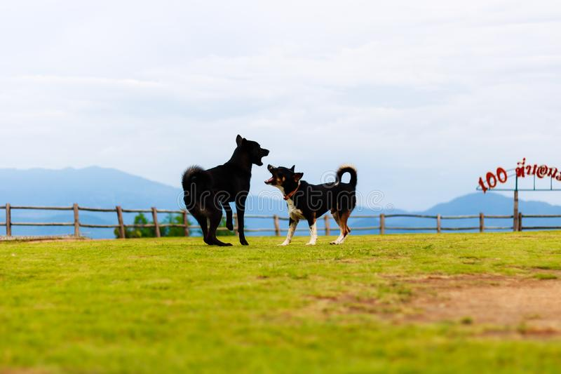 Two dogs are running and fighting in a green lawn with a mountain lanscape background. royalty free stock images