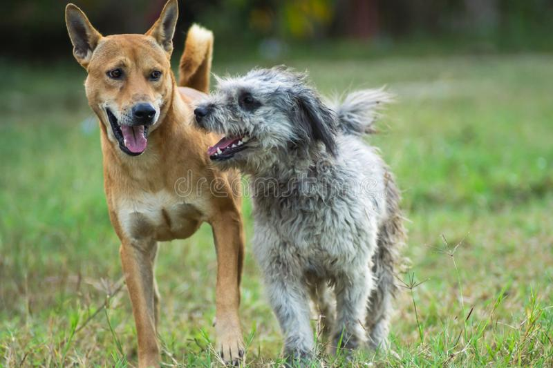 Two dogs are running on the grass stock photo