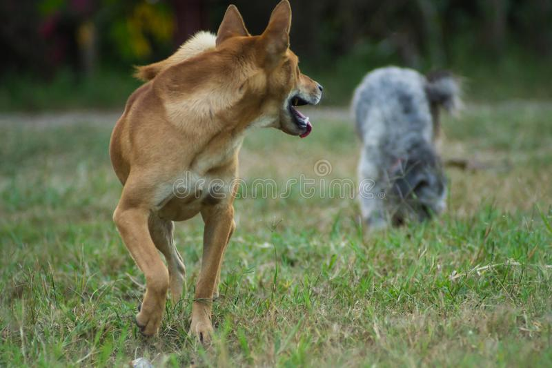 Two dogs are running on the grass stock image