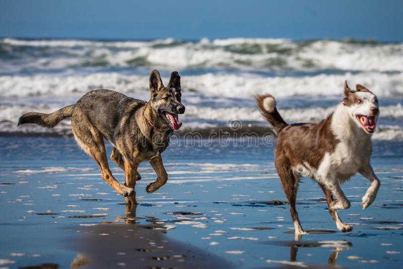 Two dogs running and playing together on the beach royalty free stock photo