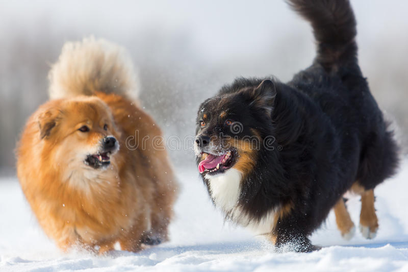 Two dogs running in the snow royalty free stock photos