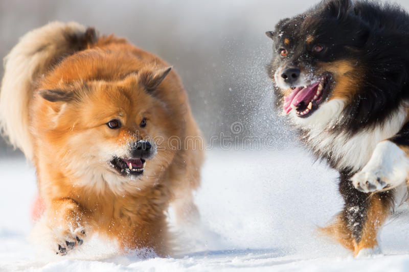 Two dogs running in the snow royalty free stock image