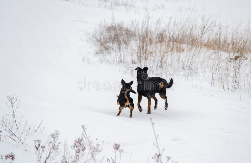 Two dogs running in winter stock photos